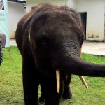 befunky collage 67 - Sin rumbo fijo por más de 500 km, elefantes siguen su periplo en China