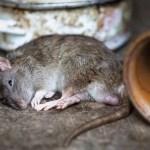 raton crop1623182015609.jpg 242310155 - Se detecta el primer caso de hantavirus en Michigan