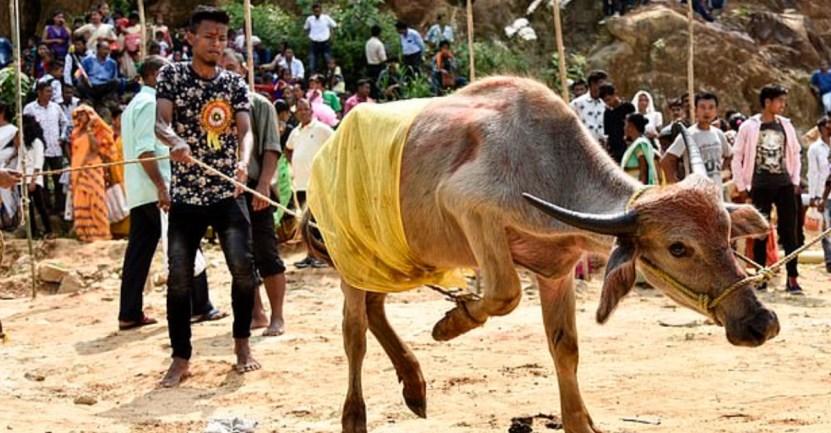 55 bufalo borrachos licor India delito peligro - Búfalos se emborrachan por beber licor ilegal en la India. Actuaban de manera extraña en la granja