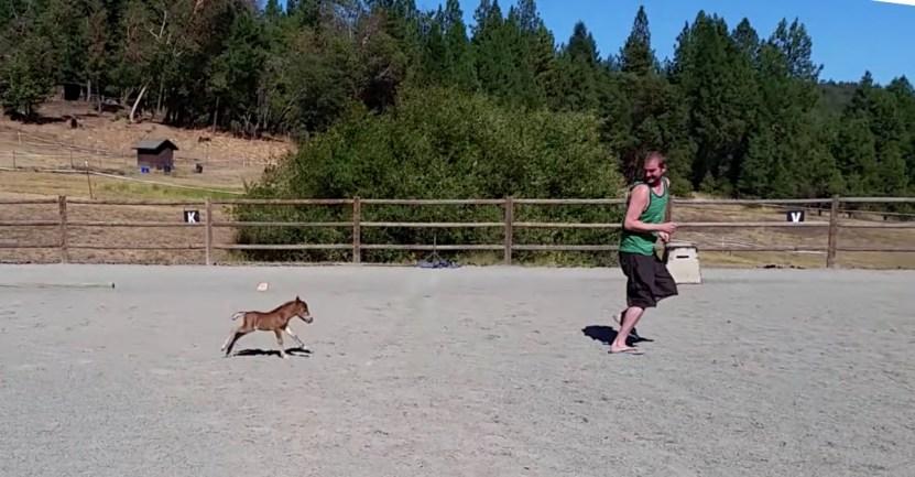 enano poni persigue dueno - Caballo en miniatura juega y corre tras su padre humano. Tiene apenas 3 días de vida y mucha energía