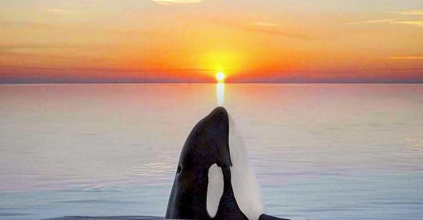 fotografa orcas - Fotógrafa capta el momento exacto en que una orca se fusiona con la puesta de sol. Bella casualidad