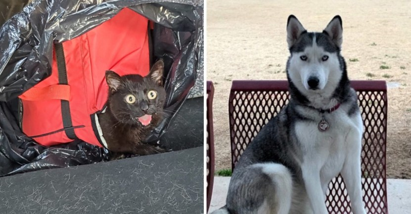 gata rescate husky hielera - Husky salvó a una gata abandonada dentro de una hielera. Sobrevivió a más de 37 grados de calor