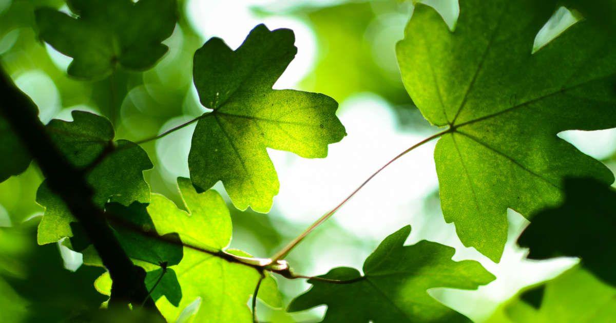 Fotografía de unas hojas en un árbol.