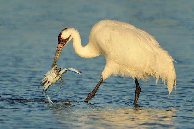 Whooping Cranes & Drought