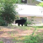 Concord Police Provide Safety Tips After Black Bear Sightings in Town