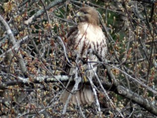 The beautiful red-tailed hawk...