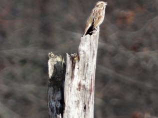 Song sparrow mid-trill.