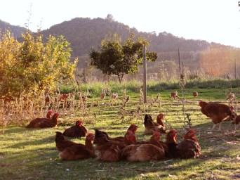 DISFRUTANT LA POSTA DE SOL Els pollastres gaudint de les últimes hores del dia. Autor/a: Àngel Jufré Segalés Operador/a inscrit: CT/2123/PE Santi Serrabassa Puntí Lloc: Sentfores, Vic (Osona)
