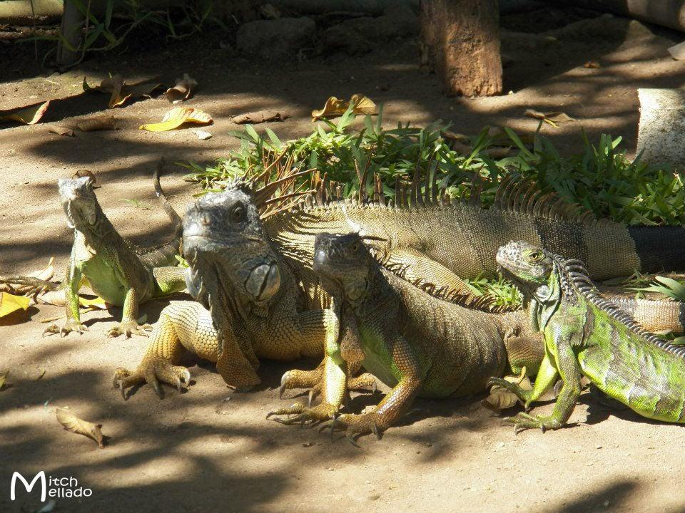 1479219751_iguanas copia