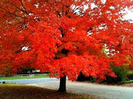 shade trees - October Glory Red Maple Tree