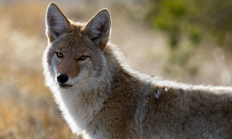 Governo Trump volta a autorizar uso de bombas de cianureto para matar animais silvestres