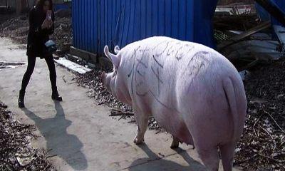 China cria 'super-porcos' do tamanho de ursos polares para compensar a escassez de carne 23
