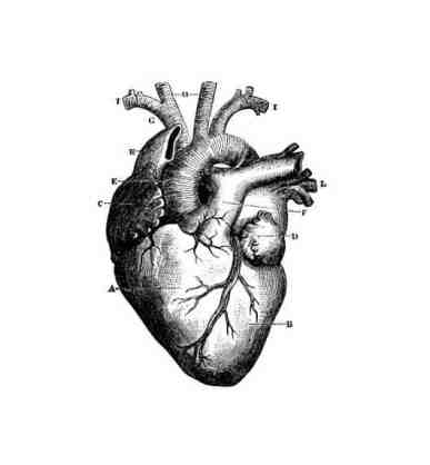 real heart illustration