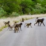 Baboons South African Safari