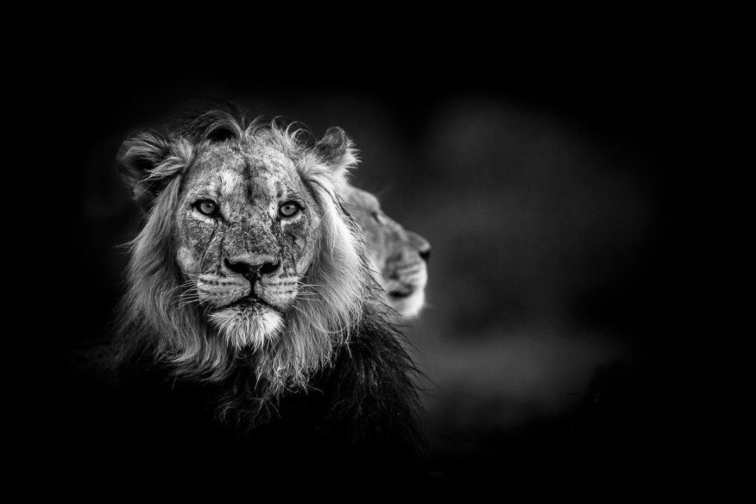 An image from Conflict and Light - Lions