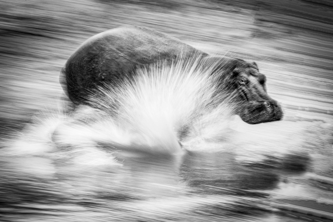 An image from Conflict and Light - Hippos