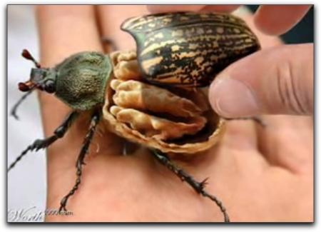 beetle nut
