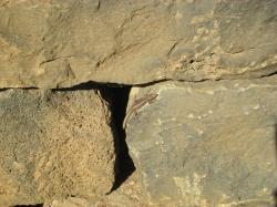 Wall lizard!
