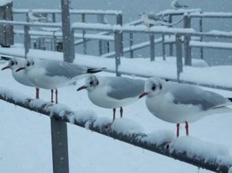 Pretty gulls all in a row