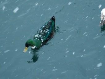 Pretty ducky!