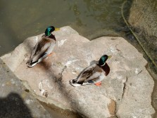 Told you there were ducks!
