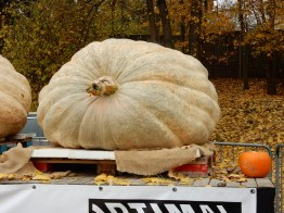 Giant pumpkin with normal sized pumpkin for scale