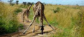13-uganda-safari