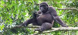 3-days-low-gorilla-congo-safaris
