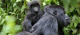 4-days-rwanda-gorilla-safari