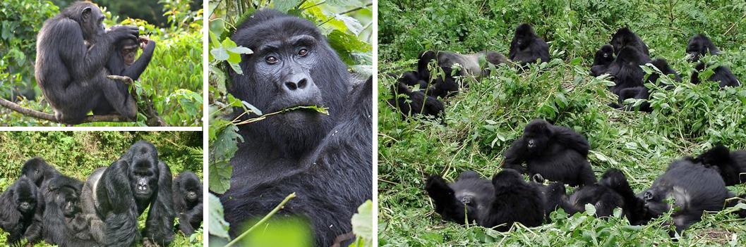 habituated-mountain-gorilla-groups-in-rwanda