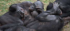 wild-bonobos-congo-safaris