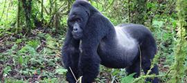 bwindi-gorillas