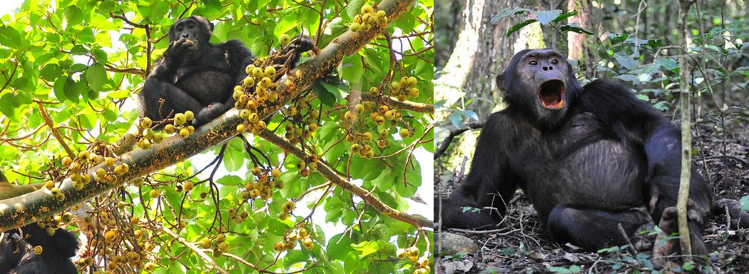 chimpanzee-trek-uganda