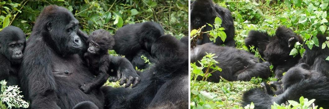 gorilla-families-in-congo