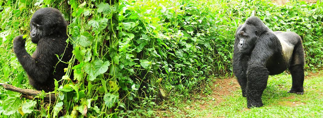 gorilla-trek-bwindi