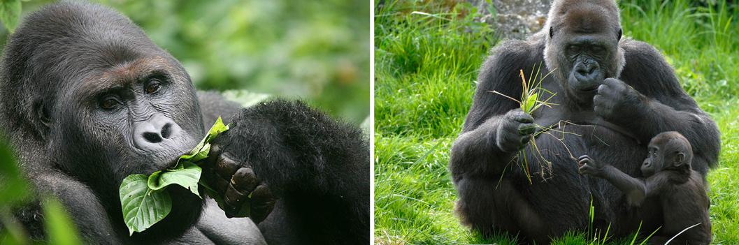 lowland-gorillas-feeding