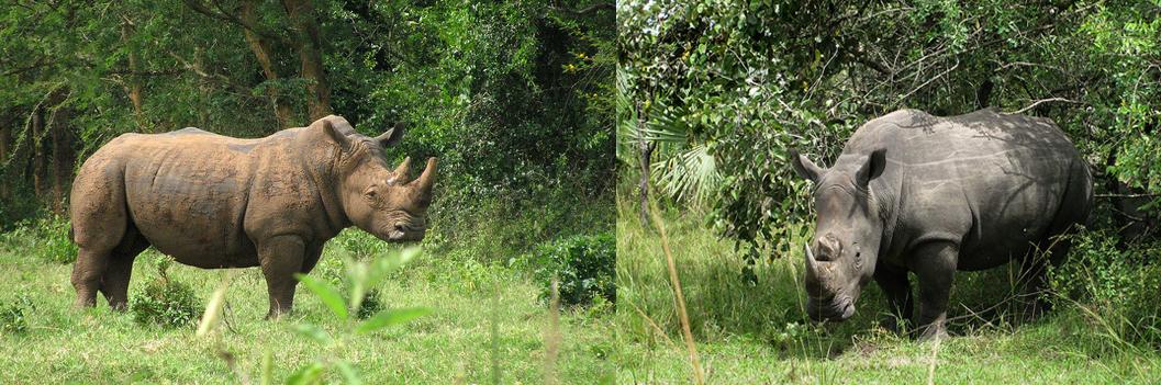 ziwa-rhinos-santuary-uganda