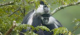 colobus-monkey-trekking-rwanda