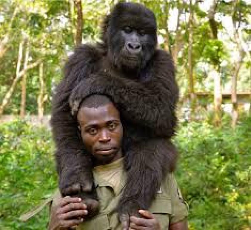 Lowland gorilla in Kahubi Biega National Park