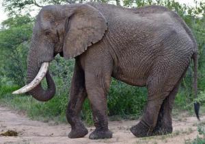 RDC/ITURI: Une femme tuée par un éléphant en errance à Bahaha