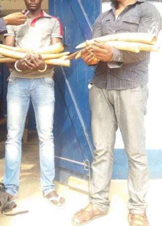 Congo/Brazza: 2 Kinois et 2 Brazzavillois à la barre pour délinquances fauniques