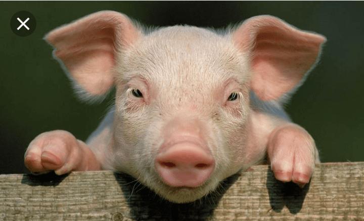 La viande de porc des Pays-Bas interdite de consommation en RDC