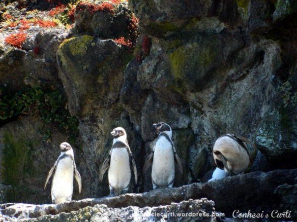 Pinguins em pose de sentinelas. Puñihuil, Chiloé.