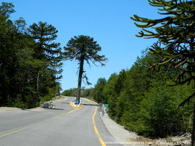No meio do caminho havia uma árvore, Chile.