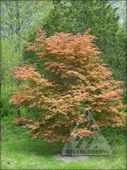 Acer x pseudosieboldianum North Wind®('IslNW')