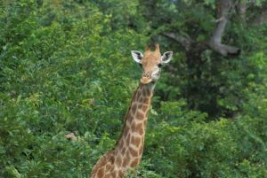 Girafa en la Reserva de Fathala