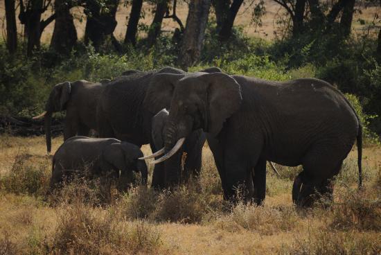 Elefantes Ngorongoro