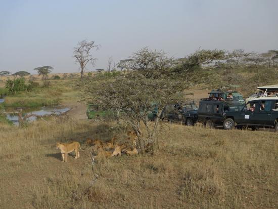 Leones en el Serengueti