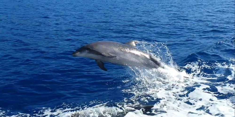 Delfines junto al barco - Los Gigantes, Tenerife