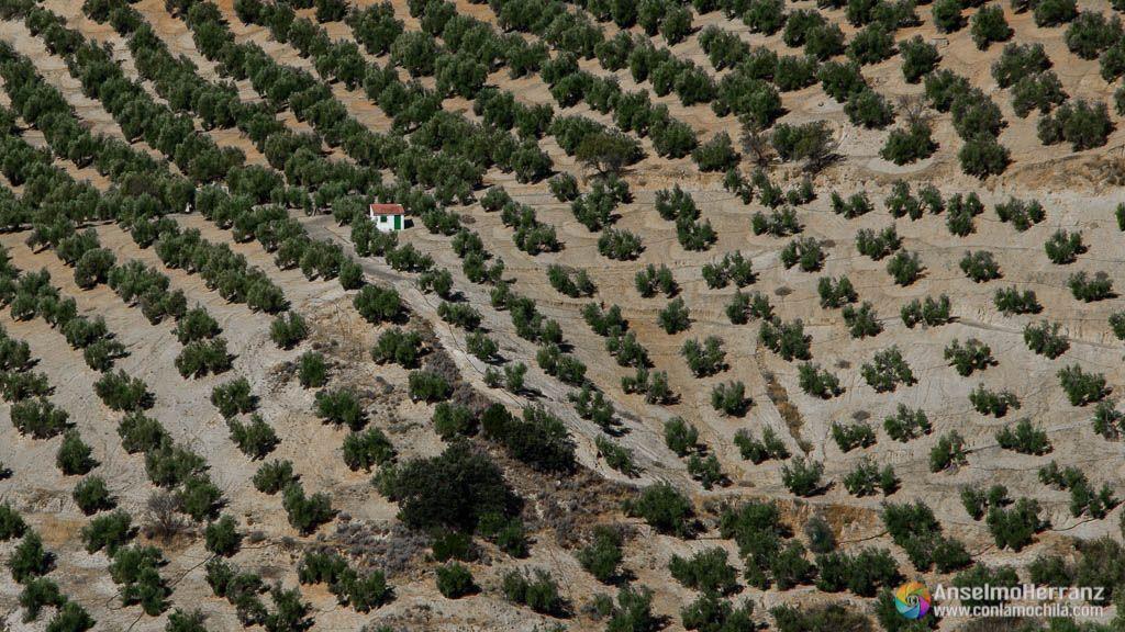 Olivos en Sierra Magina